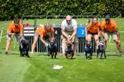 23-08-2015 Rhodesian Ridgeback Club Nederland Coursing Venlo Nederland foto: kees Nouws :